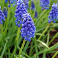 Photo de Muscari d'Arménie, Muscari armeniacum