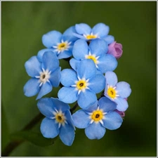 Photo de Myosotis bleu