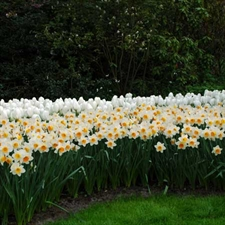 Photo de Gros Bulbes Narcisse Grandes Coupes Flower record