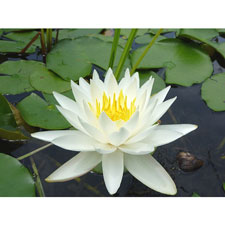 Photo de Nénuphar, Nymphaea Odorata Alba