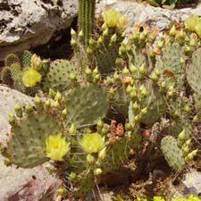 Photo de Opuntia macrocentra