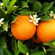 Photo de Oranger, Citrus sinensis