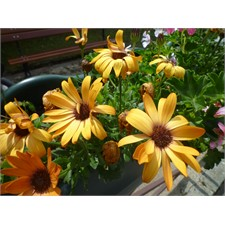 Photo de Osteospermum orange