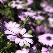Photo de Osteospermum rose