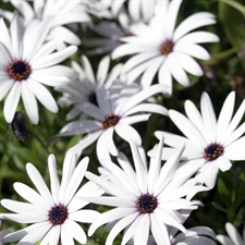 Photo de Osteospermum, Marguerite du Cap
