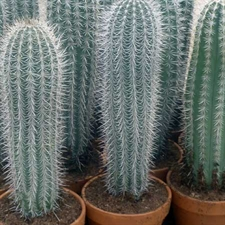 Photo de Pachycereus pringlei