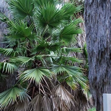 Photo de Palmier du Mexique (Washingtonia robusta)