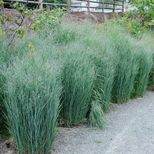 Photo de Panicum virgatum Heavy Metal