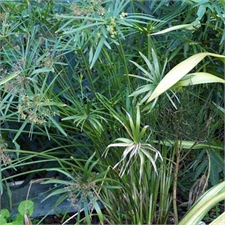 Photo de Cyperus alternifolius (Papyrus à feuilles alternes)