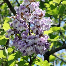 Photo de Paulownia tomentosa