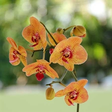 Photo de 2 Phalaenopsis 2 tiges coloris variés