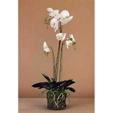 Photo de 2 Phalaenopsis blanc 2 tiges en cascade