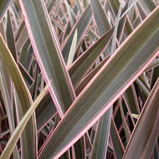 Photo de Phormium tenax Pink Stripe