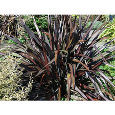 Photo de Phormium tenax Dark Avocado