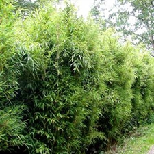 Photo de Phyllostachys humilis