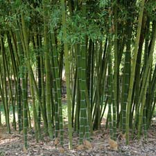 Photo de Phyllostachys parvifolia