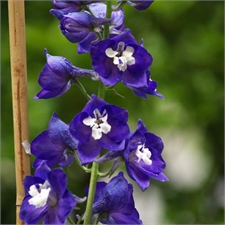 Photo de Delphinium Blue Bird, Pied d'aoulette Pacific Giant bleu