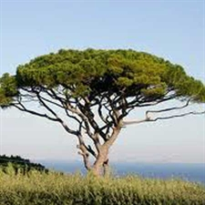 Photo de Pin parasol, Pinus pinea
