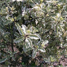 Photo de Pittosporum tenuifolium Variegatum