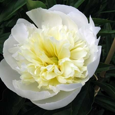 Photo de Pivoine de Chine Duchesse de Nemours
