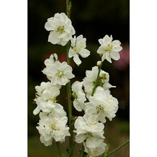 Photo de Prunus à fleurs Taoflora ® Blanc