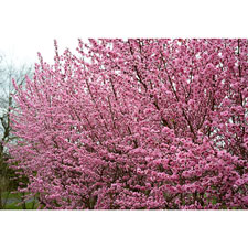 Photo de Prunus à fleurs Taoflora ® Rose