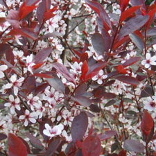 Photo de Prunier des sables, Prunus cistena