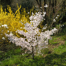 Photo de Prunus incisa The Bride