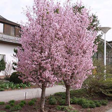 Photo de Prunus nipponica Ruby