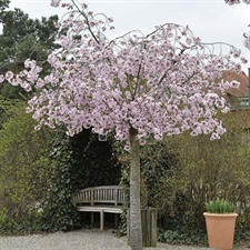 Photo de Cerisier de Sargent, Prunus sargentii