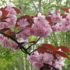 Photo de Cerisier à fleurs du Japon - Prunus serrulata Royal Burgundy