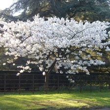Photo de Prunus serrulata Shirofugen