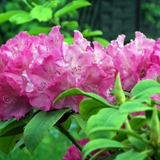 Photo de Rhododendron hybride Germania