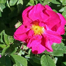Photo de Rose de Provins, Rosa gallica officinalis