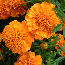 Photo de Rose d'inde orange