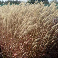 Photo de Miscanthus, Eulalie