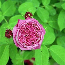Photo de Rosier rose des Peintres