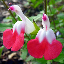 Photo de Sauge Hot Lips, Salvia michrophylla Hop Lips