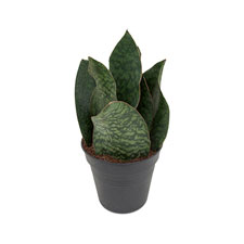 Photo de Sansevieria masiaona gongo