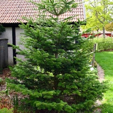 Photo de Sapin de Nordmann, Abies nordmanniana