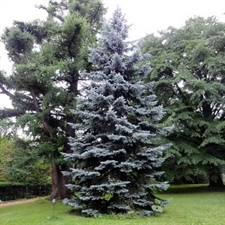 Photo de Sapin Bleu, Epicéa bleu du Colorado (Picea pungens Hoopsi)