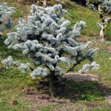 Photo de Sapin noble bleu (Abies procera) 'Glauca'