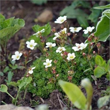Photo de Saxifrage blanc