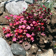 Photo de Saxifrage rose