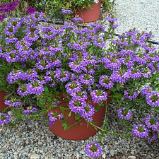 Photo de Scaevola bleu