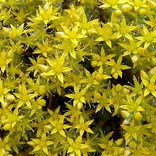 Photo de Sedum acre