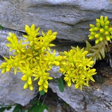 Photo de Sedum reflexum