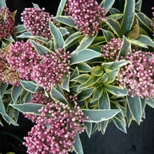 Photo de Skimmia japonica Magic Marlot®