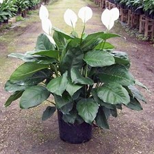 Photo de Spathiphyllum