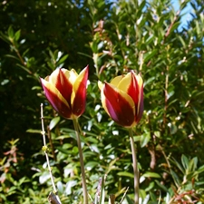 Photo de Tulipe triomphe Gavota